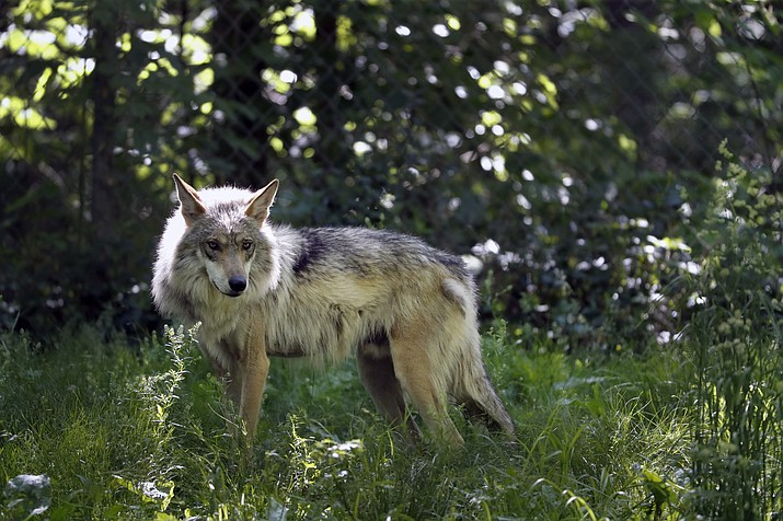 Dozens of environmental groups and scientists are asking U.S. wildlife managers to rethink how they plan to ensure the survival of Mexican gray wolves in the American Southwest. (Jeff Roberson/Associated Press)