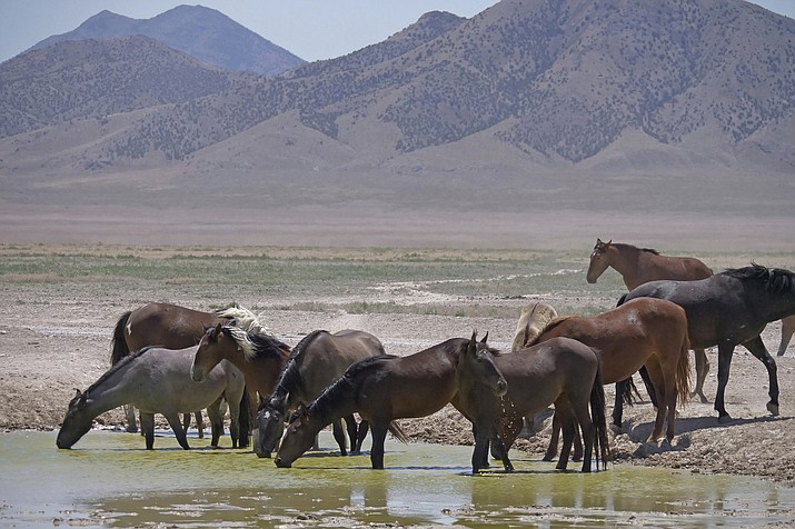 In this June 29, 2018 file photo, wild horses drink from a watering hole outside Salt Lake City. Acting U.S. Bureau of Land Management Director William Perry Pendley says it will take $5 billion and 15 years to get an overpopulation of wild horses under control on western federal lands. But he told reporters Wednesday, Oct, 23, 2019, several new developments have made him more optimistic than he's been in years about his agency's ability to eventually shrink the size of the herds from 88,000 to the 27,000 he says the range can sustain ecologically. (AP Photo/Rick Bowmer, File)