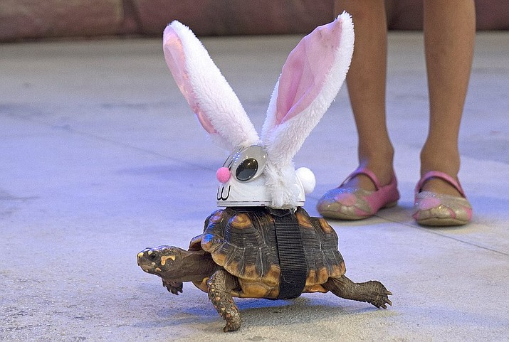 """In this Wednesday, Oct. 23, 2019, photo provided by the Florida Keys News Bureau, Donna the tortoise crawls on the Fantasy Fest Pet Masquerade stage in Key West, Fla., costumed as characters from the classic fable """"The Tortoise and the Hare."""" The event was one of many activities during Key West's 10-day costuming and masking festival that continues through Sunday, Oct. 27. (Rob O'Neal/Florida Keys News Bureau via AP)"""