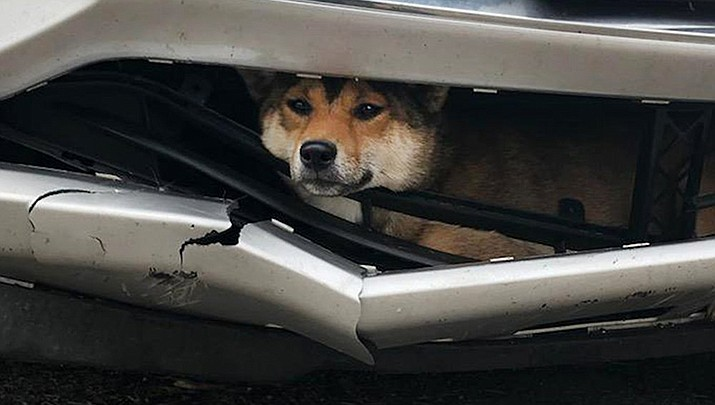 In this Monday, Oct. 28, 2019 photo provided by the Rotterdam, N.Y., Police, Coco, a Shiba inu, is trapped inside the bumper of a car. The dog was hit by a car in upstate New York and rode for 45 minutes wedged between the broken bumper and the grille before the driver realized she was carrying an injured passenger. (Rotterdam Police Department photo)