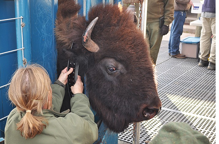 Park biologist Angela Jarding places a tracking collar on a female bison during Wind Cave National Park's recent bison processing operation. (Photo/NPS)