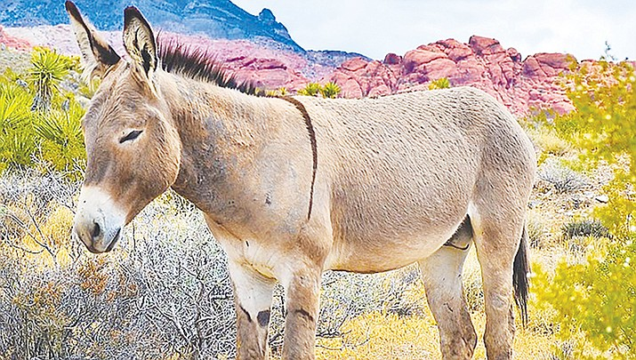 A burro is shown in the Red Rock Canyon National Conservation Area in 2015. (Photo by Tomás Del Coro,  cc-by-sa-2.0, http://bit.ly/2pDk1U9)