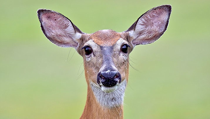 A deer that crashed through a window into a suburban Indianapolis school sent students into lockdown mode during its surprise invasion. (Stock image)