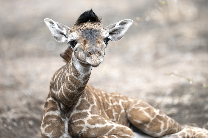 Out of Africa Wildlife in Camp Verde is fund-raising to a baby giraffe after the death of its popular giraffe earlier this year. (photo/Out of Africa)