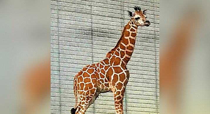 Out of Africa Wildlife park in Camp Verde is fundraising to adopt this baby giraffe after the death of its popular giraffe earlier this year. (Out of Africa/Courtesy)