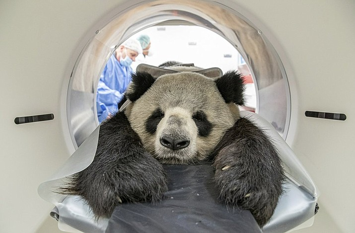 In this Thursday Nov. 7, 2019 photo, provide by the Berlin Zoo, nine years old male Panda Jiao Ling is prepared for an examination in the computer tomograph in Berlin, The veterinarians of the zoo wanted to investigate the function the different sized kidneys. (Berlin Zoo via AP)
