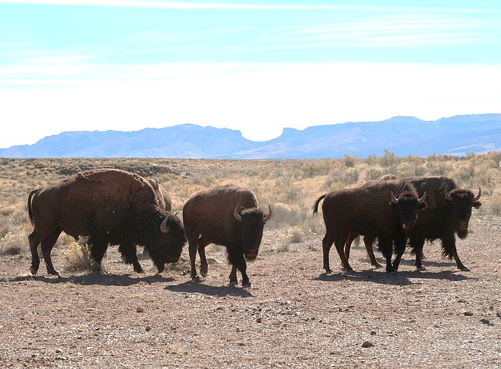 A temporary road closure is in effect within a 4,000 acre bison management area located inside the House Rock Wildlife Area on the North Kaibab Ranger District of Kaibab National Forest. (Photo/Kaibab National Forest)