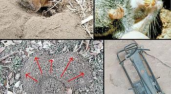 Backyard Gardener: Managing pocket gophers photo