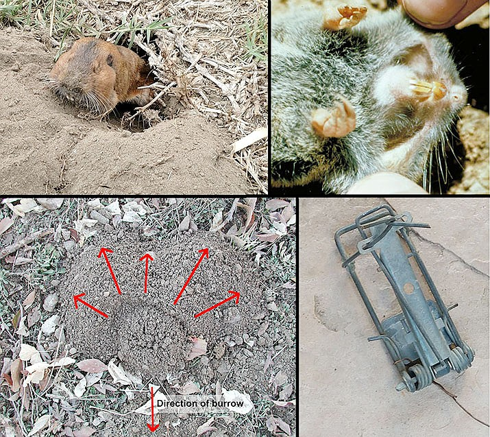"""Upper left, a pocket gopher digging a burrow; lower left, a closed pocket gopher burrow showing """"fan"""" of soil pushed upward in photo, burrow """"plug"""" is at the center; lower right, a wire type gopher trap; and, upper right, a dead pocket gopher showing """"pockets"""" used to move soil and carry food. (Photo of pockets, Dave Powell, USDA Forest Service; and Jeff Schalau, University of Arizona — all other photos)"""