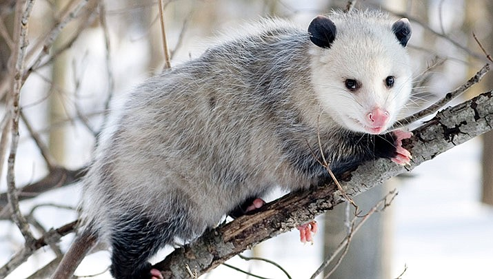 "A movement is growing in North Carolina to prevent the act of so-called ""opossum dropping."" The practice involves suspending an opossum in a transparent box on New Year's Eve and slowly lowering it the ground as people count down to midnight. (Cody.pope, CC BY-SA 2.5, https://bit.ly/2XvDmml)"