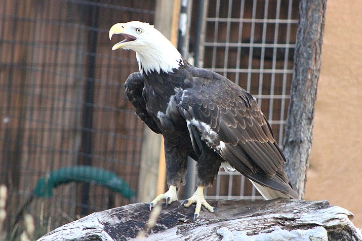 Vernon the Bald Eagle is the newest member of the Bearizona family. Vernon was rescued by the U.S. Fish and Wildlife Service. (Photo/Bearizona)