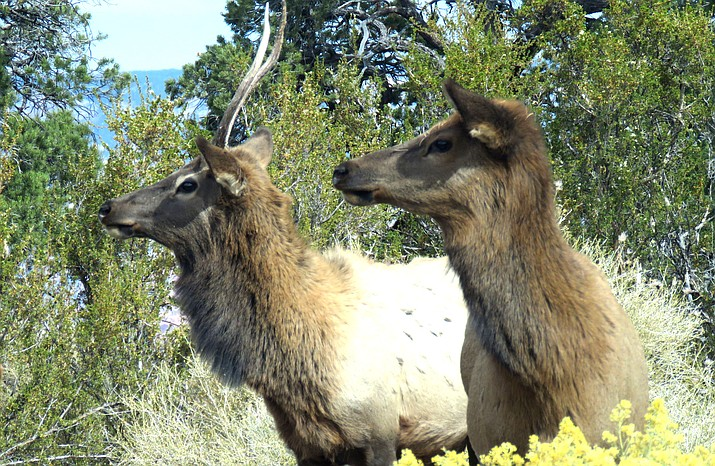Elk at the Grand Canyon/Melissa Bowersock