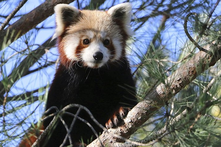 This photo released by Saint-Martin-la-Plaine zoo shows the red panda that broke out of a zoo in the Rhone region of southeastern France, Friday, Nov. 15, 2019. The park said the panda escaped last Friday by climbing branches broken by snowfall and swinging from tree to tree. Officials said the panda, a cat-sized nocturnal animal with reddish fur and a shaggy tail, would probably be spotted in a tree. (AP Photo/Saint-Martin-la-Plaine zoo)