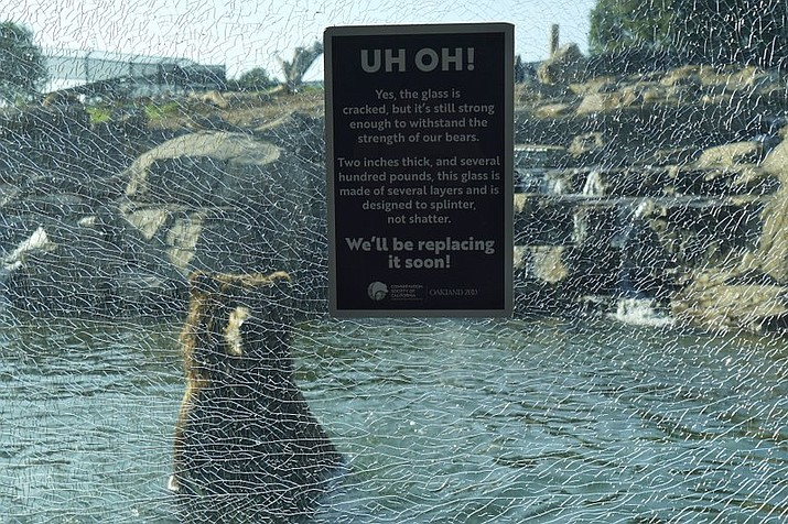 This Tuesday, Nov. 19, 2019, photo provided by the Oakland Zoo shows a Grizzly bear in water behind broken glass in Oakland, Calif. A child visitor, not the Grizzly bears, cracked a glass viewing window at the Oakland Zoo's bear exhibit and officials say there are no safety concerns. (Oakland Zoo via AP)