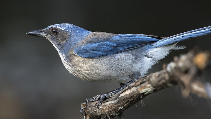 """Pictured is a Woodhouses's scrub-jay. """"During the nature walk we saw, and heard, a variety of birds including two types of hawks, a falcon, bushtits, bridled titmouse, Bewick's wren, western bluebirds, American robins, Woodhouses's scrub-jay, phainopepla, white-breasted nuthatch, house finch, dark-eyed juncos, white-crowned sparrows—just to name a few!"""" (Stock photo)"""