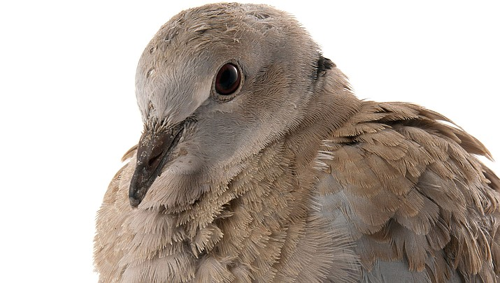 Arizona's dove season has reopened and will last through Jan. 5, 2020. Hunters may take up to 15 mourning doves a day. (Adobe image)