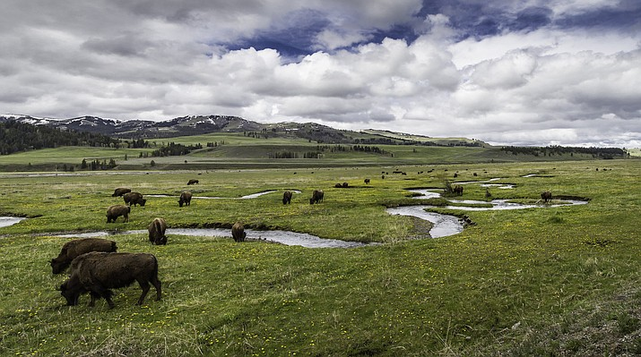 Bison graze along Rose Creek in the Lamar Valley of Yellowstone National Park. (Neal Herbert/NPS)