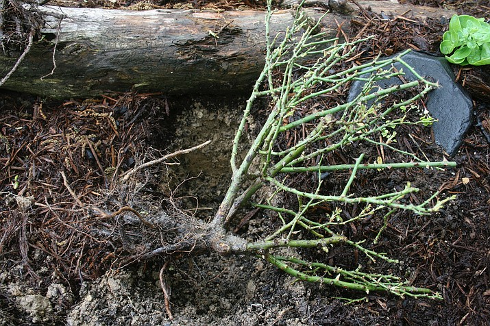 This bare root rose, shown in an undated photo taken near New Market, Va., is typical of newly planted trees and shrubs that are more susceptible to cold-weather-caiused tissue damage then established plants. Mulching combined with watering helps considerably to prevent winter kill. (Dean Fosdick via AP)