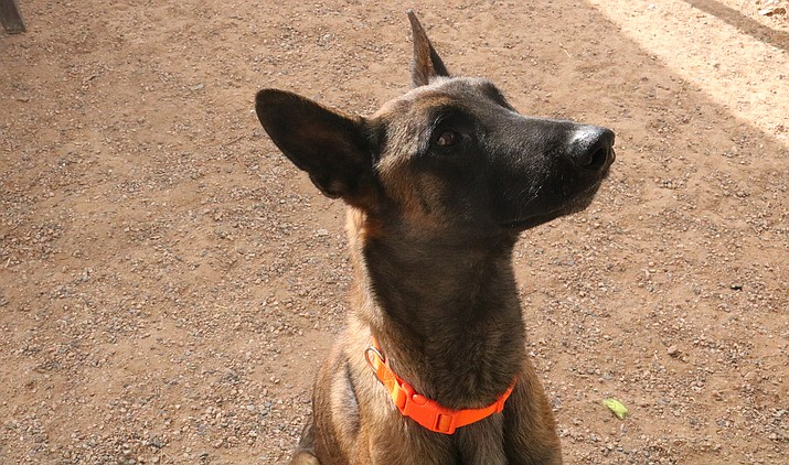 """Boss the Belgian Malinois has """"a miraculous opportunity,"""" according to Nicole Mangiameli, Mohave County Animal Shelter animal care supervisor, to participate in the Patriotic Service Dog Foundation. (Photo by Travis Rains/Kingman Miner)"""