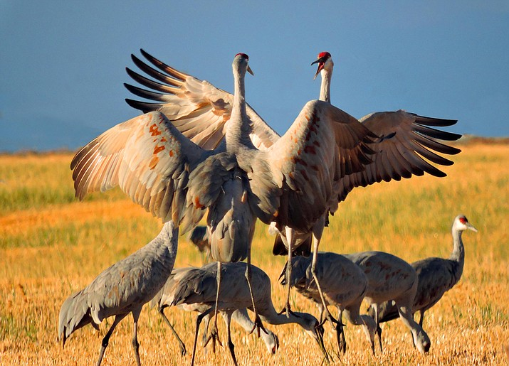 Sandhill cranes are wintering in the Whitewater Draw Wildlife Area in southeastern Arizona. (Public domain)