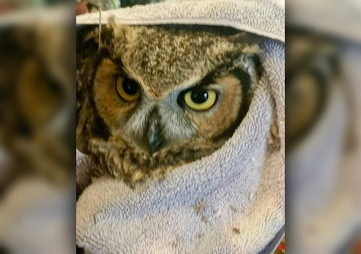 This great horned owl was rescued by an Arizona DPS worker. (Arizona DPS/Courtesy)
