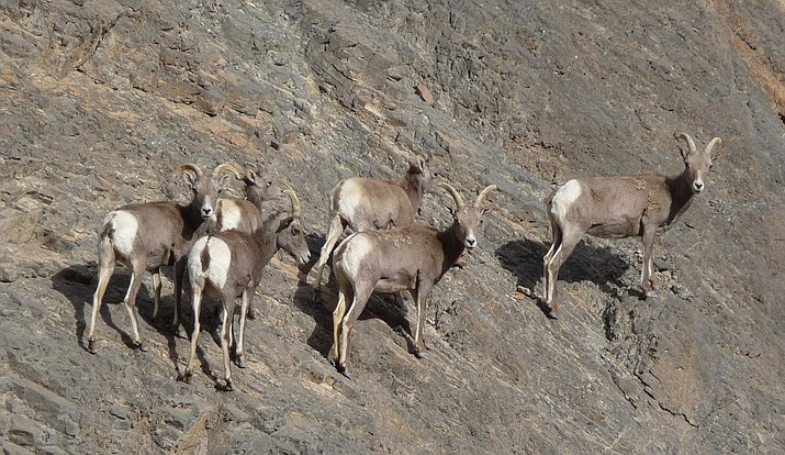 NPS biologists at Death Valley National Park are studying herds of desert bighorn sheep and how they respond to environmental changes and challenges. (Photo/NPS)