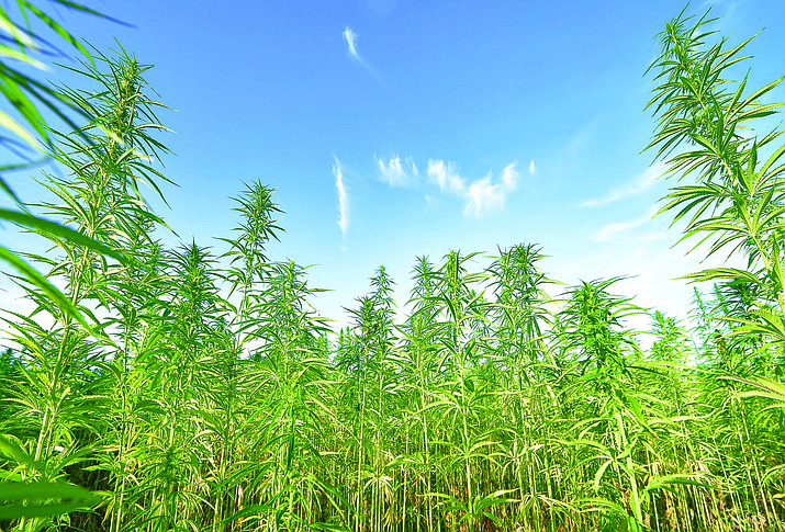 A field of hemp is seen in this file image. (Courier file photo)