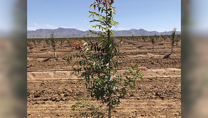 A drought-sensitive species of pistachio tree is shown on the farm operated by Peacock Nuts, LLC, east of the Kingman Airport. (Courtesy photo)