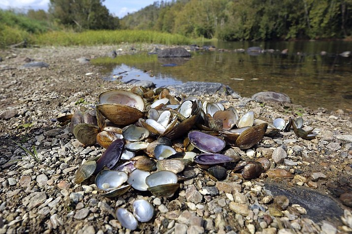 In this Oct. 17, 2019, photo provided by the U.S. Fish and Wildlife Service, a pile of recently dead freshwater mussels are piled along the shore of the Clinch River near Wallen Bend, Tenn. While freshwater mussels have been plagued for decades by habitat loss, invasive species, pollution, sedimentation and other issues, there's a possibility that the die-off in the Clinch River could be connected to infectious disease. (Meagan Racey/U.S. Fish and Wildlife Service via AP)