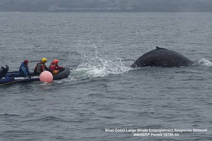 In this photo taken Dec. 13, 2019, provided by Marine Life Studies Whale Entanglement Team, a young humpback whale entangled in fishing gear is freed in Monterey Bay, Calif., days after it was first spotted by a fisherman. (Marine Life Studies via AP)