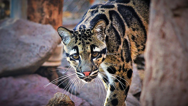 Children 12 and under receive free general admission during Kid's Free Week at Heritage Park Zoological Sanctuary, 1403 Heritage Park Rd. in Prescott Monday, Dec. 23 through Friday, Dec. 27. (Heritage Park Zoological Sanctuary)