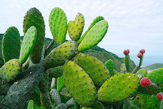 The prickly pear cactus is the unlikely source for a type of plastic developed by researchers in Mexico. Juice from the cactus is mixed with plant-based additives, rolled flat and dried, producing a film similar to that used in the plastic shopping bags – but able to break down in weeks in a landfill instead of centuries regular plastic takes. (Photo by MonikaP from Pixabay)