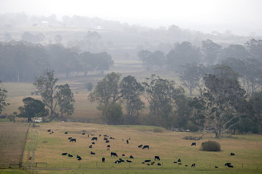 Smoke and rain mist mix in air as cattle graze below burnt grass fields near Milton, Australia, Sunday, Jan. 5, 2020. The deadly wildfires, which have been raging since September, have already burned about 5 million hectares (12.35 million acres) of land and destroyed more than 1,500 homes. (AP Photo/Rick Rycroft)