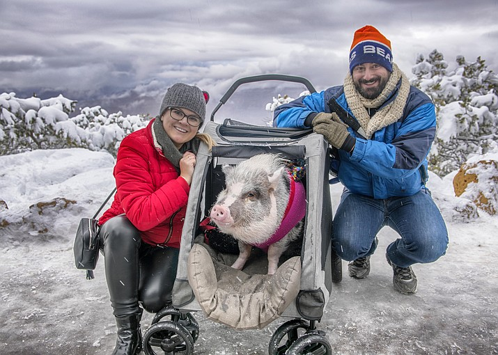 LiLou, known as the world's first certified airport therapy pig, visited the Grand Canyon South Rim Dec. 27. The family plans on taking in Tucson and Los Angeles before returning home to San Francisco. (V. Ronnie Tierney/WGCN)