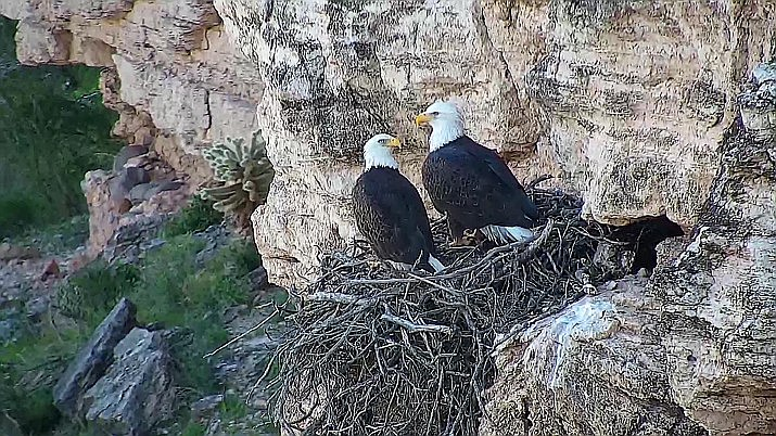 The bland nesting eagles, who keep their nest on the side of a sheer cliff above Lake Pleasant, attracted nearly 400,000 views in 2019. (Photo/AZGFD)