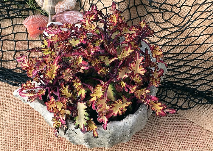 Quality potting mixes should be light, fluffy and moist to keep plants, like this coleus, healthy. (Melinda Myers, LLC)