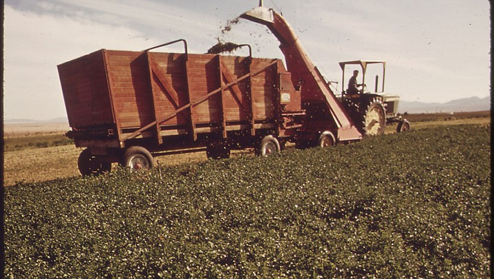 Alfalfa and other water-intensive crops that are being grown with groundwater are threatening water supplies in some parts of Arizona. (Photo by Charles O'Rear/National Archives and Record Administration)