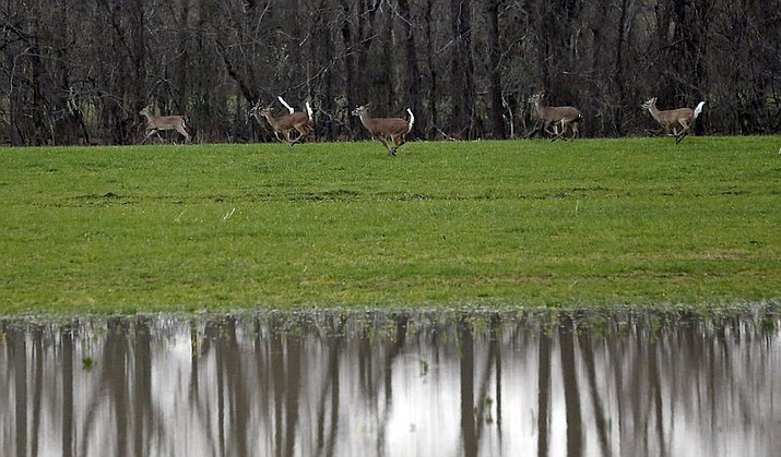 "In this March 1, 2019 file photo, deer run alongside rising water from the Yazoo River in Warren County, Miss. A deadly brain disease has been found in or is suspected in 40 Mississippi deer, and the state is asking hunters to continue providing samples through the deer season. ""Deer harvest begins to tail off this time of the season. I hope we will get several hundred more before the season is over, if not a thousand or so,"" Russ Walsh, wildlife chief of staff for the Department of Wildlife, Fisheries and Parks, said Thursday, Jan. 9, 2020.(AP Photo/Rogelio V. Solis, File)"
