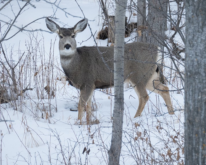 Two female mule deer were poached and left to waste on the Arizona Strip in the Cottonwood Canyon area Jan. 5 or Jan. 6. (Stock photo)