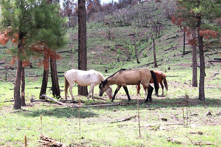 A growing number of wild horses have been found dead on the Apache-Sitgreaves National Forests. (Photo/USFS, Apache-Sitgreaves National Forests)