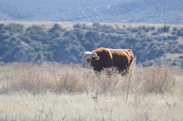The Center for Biological Diversity filed the lawsuit Monday, alleging the U.S. Forest Service isn't adequately monitoring the land or maintaining fences that would separate domestic cows from rivers and streams in two national forests in western New Mexico and eastern Arizona. (Brian M. Bergner Jr./Courier)