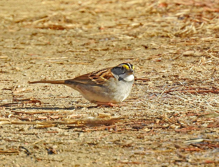 This white-throated sparrow was spotted on Jan. 3 at the west end of Willow Lake near the dog park. (Cory Shaw/Courtesy)
