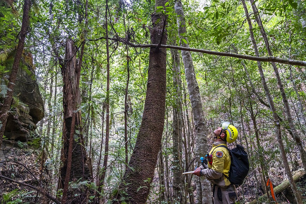 In this photo taken early Jan. 2020, and provided Thursday, Jan. 16, 2020, by the New South Wales National Parks and Wildlife Service, NSW National Parks and Wildlife Service personnel inspect Wollemi pine trees in the Wollemi National Park, New South Wales, Australia. Specialist firefighters have saved the world's last remaining wild stand of a prehistoric tree from wildfires that razed forests west of Sydney. (NSW National Parks and Wildfire Service via AP)
