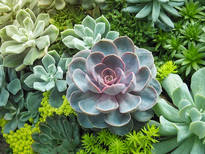Any plant with fleshy stems or leaves is called a succulent. Aside from cacti, only a few other plant families have succulent members. All these succulents, cactus or not, are low-maintenance. (Courier stock photo)