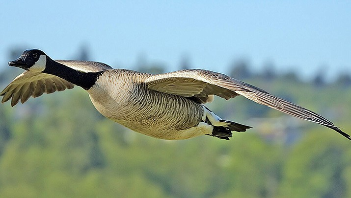 Waterfowl hunting opportunities, including for geese like the one shown above, are still available in Arizona in January. (Photo by Alan D. Wilson, cc-by-sa-2.5, https://bit.ly/364TIVT)