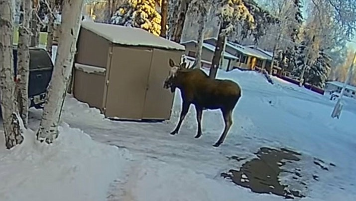 An Alaska man carrying garbage to his shed had to take cover inside when a curious bull moose decided to join him. (AP, video capture)