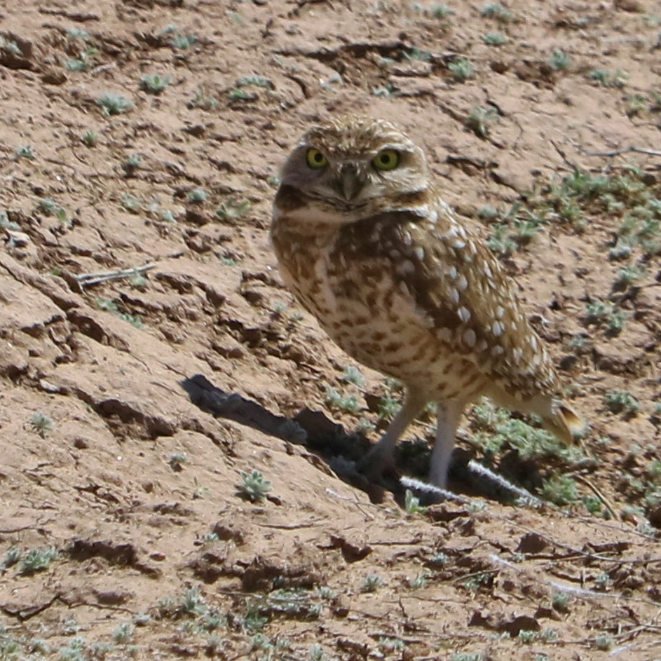 'Burrowing Owls in the Suburbs', Jan. 23