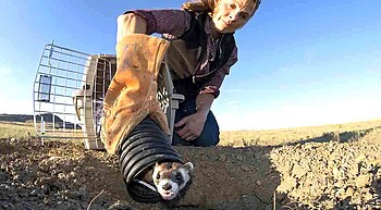 The race to conserve America's Black-Footed Ferrets photo