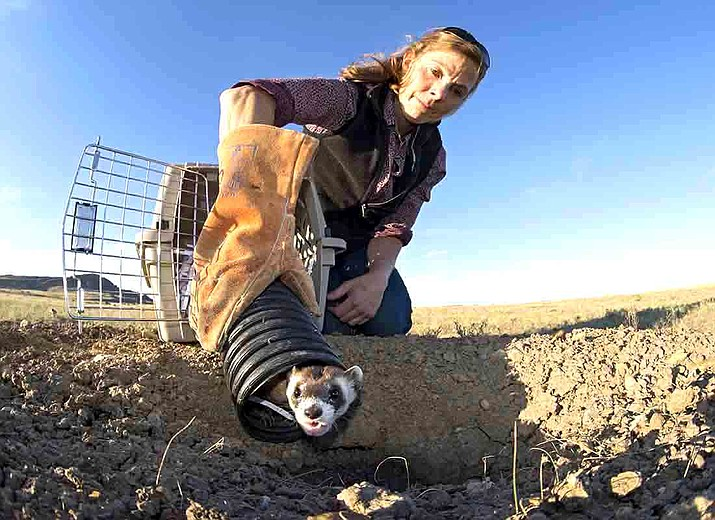 Kristy Bly of the World Wildlife Fund releases a black-footed ferret into a prairie dog burrow on the Fort Belknap Reservation. (Photo/Copyright Clay Bolt, WWF/Conservation Media)