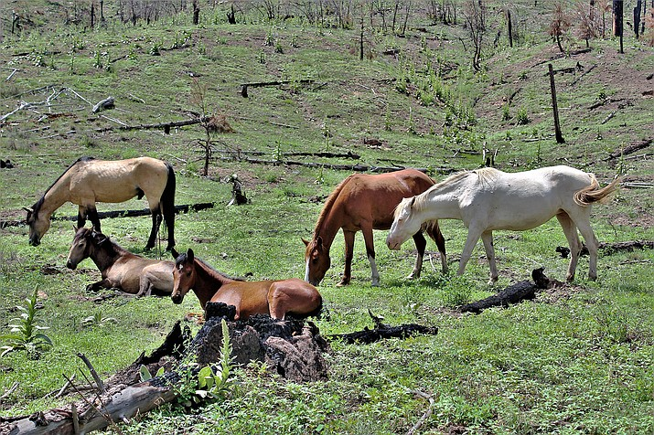 Additional wild horses have been found dead on the Apache-Sitgreaves National Forests. (Photo/USFS, Apache-Sitgreaves National Forests)